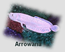 Arowana for wealth and abundance