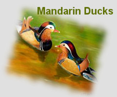 mandarin ducks for love, romance and partnership