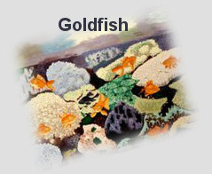 Goldfish for wealth and abundance